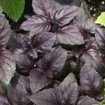 семена базилика Базилик пурпурный