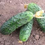 Семена огурца Барвина F1