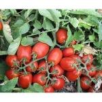 Семена томата Денар