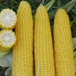 кукуруза Добрыня F1