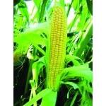 Кукуруза сахарная LS №779 F1