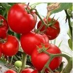 Семена томата Леда F1