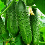 Семена огурца Маестоза