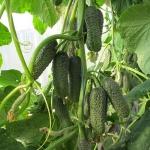 Семена огурца Немо f1 (Сирин)